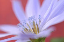 Close-up of wild chicory flower von Danita Delimont