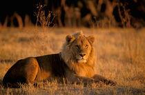 Lion (Panthera leo) von Danita Delimont
