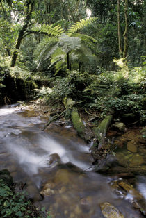 Rainforest tree fern and stream by Danita Delimont