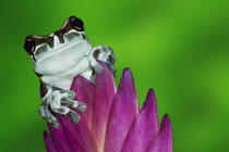 Close-up of Amazon milk frog by Danita Delimont