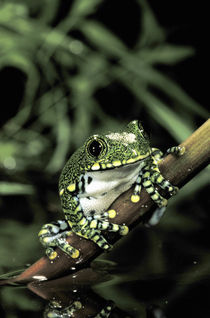 African big eye tree frog (Leptopelis vermiculatus) by Danita Delimont