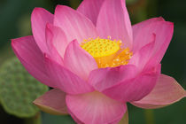 Lotus blossom von Danita Delimont