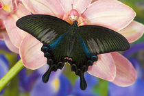Washington Tropical Butterfly Photograph of male Papilio Bianor Swallowtail from Tiawan by Danita Delimont