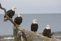 Bald eagles perched on a piece of driftwood by Danita Delimont