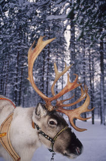 In Santa Claus's country the reindeers abound von Danita Delimont