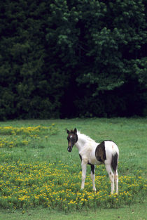 Colt grazing in a pasture with yellow flowers by Danita Delimont