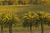 Landscape view of palm trees along Barossa Valley Estates vineyards seen from Glaymond Wines's vineyard von Danita Delimont