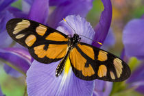 Washington Tropical Butterfly Photograph of Thyridia psidii the melantho Tigerwing Butterfly by Danita Delimont