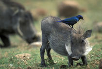 Warthog (Pharcochoerus africanus) and Blue-eared Starling (Lamprotornis chalybaeus) by Danita Delimont