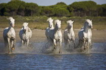 Horses run through the estuary waters by Danita Delimont