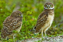 Habitat loss due to human development are taking away essential areas for these owls by Danita Delimont