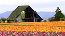 Tulip field with barn by Danita Delimont