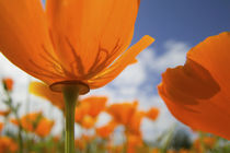 Close UP of California Poppy With Blue Sky by Danita Delimont