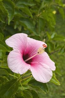 Hibiscus flower by Danita Delimont