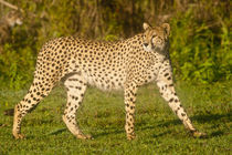 Female Cheetah at Ndutu in the Ngorongoro Conservation Area by Danita Delimont