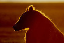 Silhouette of brown bear in golden light by Danita Delimont