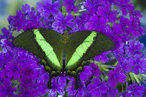 Washington Tropical Butterfly Photograph of Papilio palinurus the Banded Peacock Swallowtail from Asia by Danita Delimont