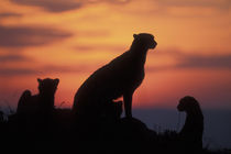 Adult Female Cheetah (Acinonyx jubatas) silhouetted by setting sun on savanna at dusk by Danita Delimont