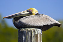 Portrait of roosting brown pelican in breeding plumage by Danita Delimont