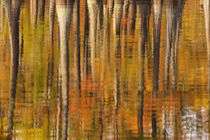 Reflections of cypress trees in the fall by Danita Delimont