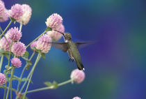 Black-chinned hummingbird (female) by Danita Delimont