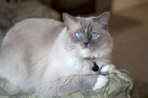 Female Ragdoll Cat von Danita Delimont