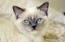 Ragdoll kitten by Danita Delimont