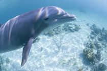 Captive Bottlenose Dolphin (Tursiops truncatus) swimming in Caribbean Sea at UNEXSO site by Danita Delimont