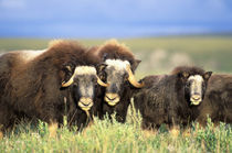 A group of muskoxen browse on willow shrubs on the tundra of the Arctic National Wildlife Refuge by Danita Delimont