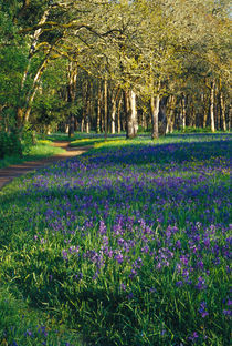 Field of camas and oak trees by Danita Delimont