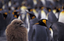 South Georgia Island King penguin (Aptenodytes patagonica) fully-grown young (left) begging parent for food by Danita Delimont