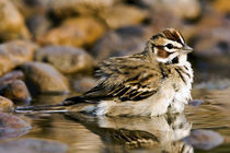 Close-up of lark sparrow bathing in small pond by Danita Delimont
