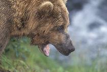 Brown bear (Ursus arctos) by Danita Delimont