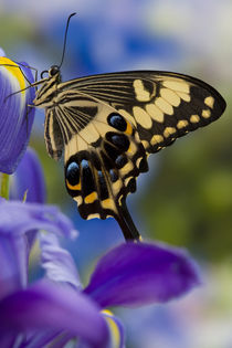 Washington Tropical Butterfly Photograph of Papilio ophidicephalus the Emperor Swallowtail from Africa on Dutch Blue Iris von Danita Delimont
