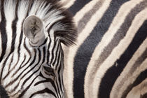 Details of two zebras by Danita Delimont