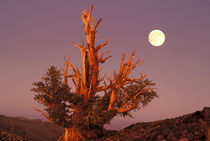 Full moon rising behind ancient Bristlecone Pine Forest von Danita Delimont