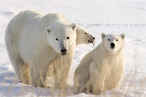 Mother polar bear and two cubs by Danita Delimont