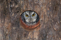 Western Screech-Owl at nest in Mesquite Tree by Danita Delimont