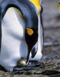 King penguin tends single egg by Danita Delimont