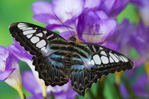 Washington Tropical Butterfly Photograph of Parthenos sylvia lilacinus the B lue Clipper for Asia von Danita Delimont