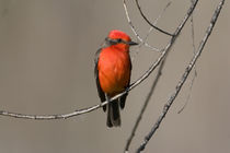 USA - California - San Diego County - Vermilion Flycatcher sitting on branch by Danita Delimont