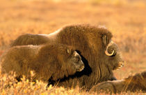 Cow and calf musk ox (Ovicus moschatus) stand together on autumn colored tundra of ANWR by Danita Delimont