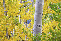 Intimate aspen forest scene during fall by Danita Delimont