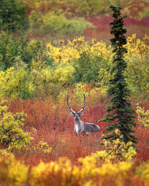 Caribou and autumn tundra in Denali National Park von Danita Delimont