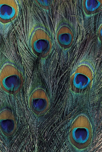 Peacock feather design von Danita Delimont