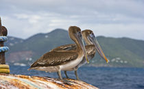 The Brown Pelican ( Pelecanus Occidentalis ) by Danita Delimont