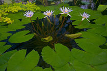 Inside with the water ponds with water lilies von Danita Delimont