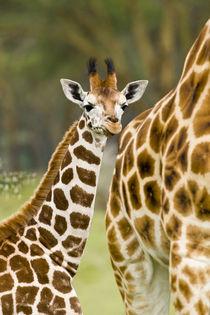 Rothschild's Giraffe baby with mother at Lake Nakuru NP von Danita Delimont