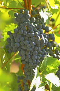 Cabernet Sauvignon grape bunch in the Chateau Margaux vineyard in Bordeaux by Danita Delimont