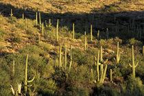 Saguaro Cactus (Carnegia gigantea) by Danita Delimont